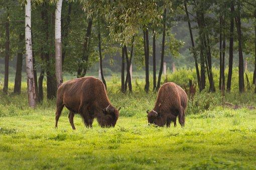 American Bison, Bison, Kurozweki, Animals, Nature