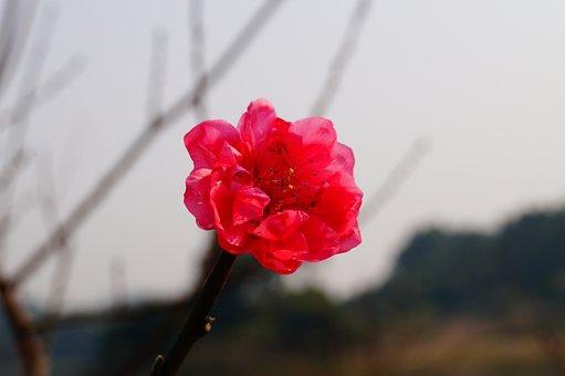 Flower, Red Flower, Blossom, Plum Flower, Petal