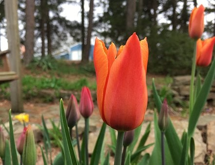 Tulips Blooming, Tulips, Blossoms, Bloom, Flowers