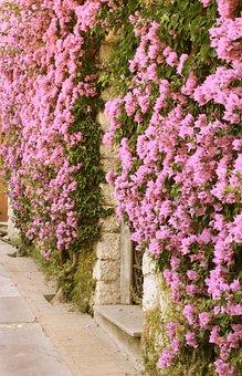 Capri, Bougainvillea, Rosa, Ancient, Wall, Flower