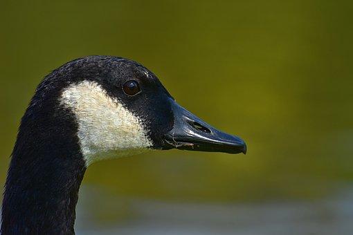 Canada Goose, Branta Canadensis, Wild Bird, Nature