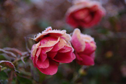 Roses, Flowers, Frost, Winter, Cold, Romance, Romantic