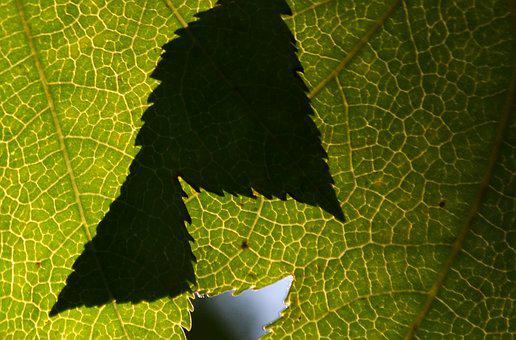 Leaf, Shadow, Green, Nature, Tree, Plants, Color