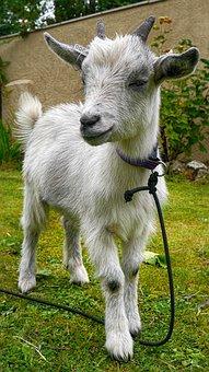 Pygmy Goat, Livestock, Animal, Horns, Cute