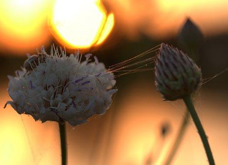Flower, Sunset, Spider Web, Nature, Field