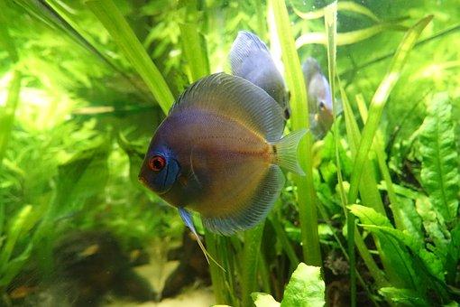 Aquarium, Fish, Discus, South America