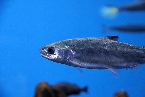 Salmon, Fish, Serebryanka, Young, Live, Animal, Food