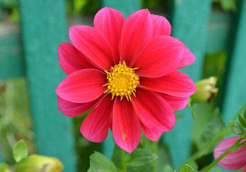 Dahlia, Flower, Bloom, Pink, Flora, Color, Summer