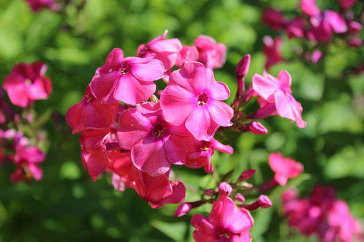 Flowers, Phlox, Flower, Flower Garden, Color, Beautiful