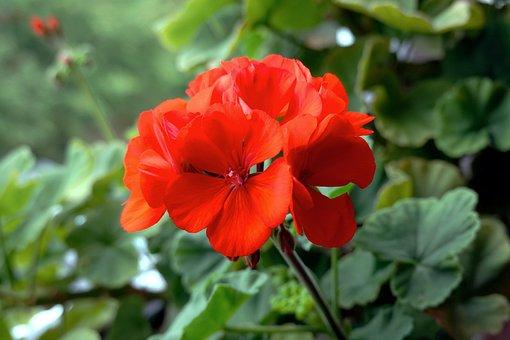 Flower, Red, Green, Balcony, Balcony Plant