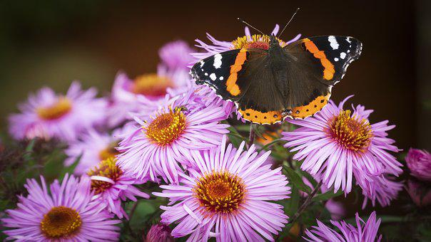 Butterfly, Flowers, Red Admiral, Insect, Bloom