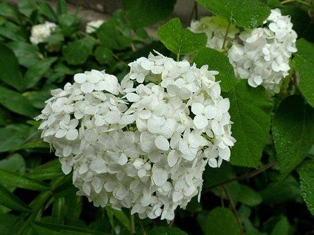 Hydrangea, Flower, Heart, Inflorescence, Summer