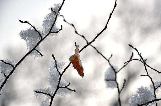 Winter, Leaf, Nature, Cold, Tree, Frozen, Snow, Frost