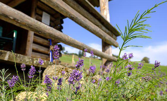 Lavender, True Lavender, Medicinal Plant