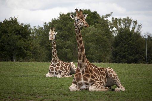 Giraffes, Wildlife, Park, Zoo, Africa, Safari, Nature