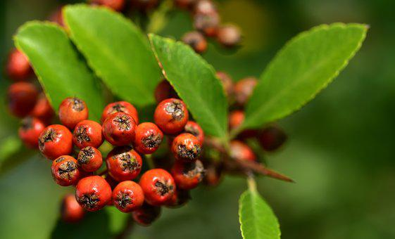 Firethorn, Orange, Berries, Fruits, Bush, Plant, Nature