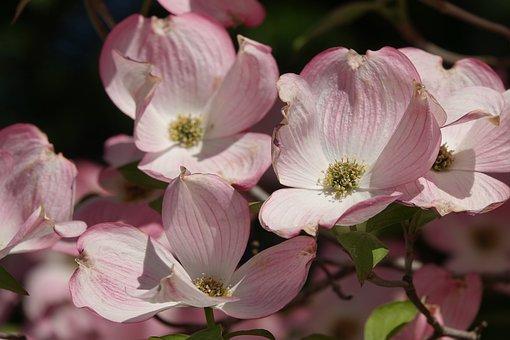 Ornamental Apple Tree, Flowers, Spring