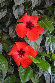 Pacific, Hibiscus, Plant, Flowers, Flower, Summer, Red