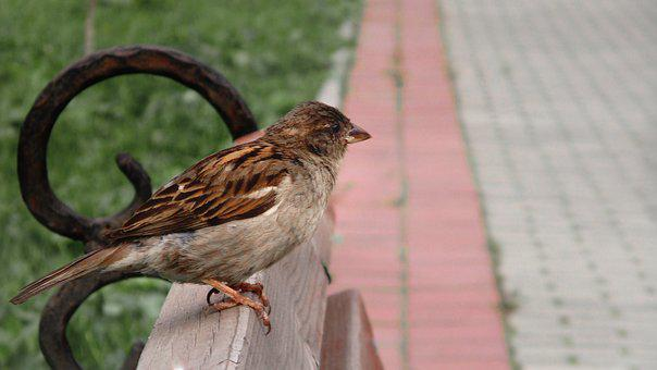 Sparrow, Bird, Chick, Sitting, Arrived, Plumage, Nature