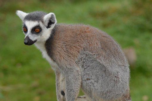 Lemur, Zoo, Attention, Focused, Primates, Madagascar