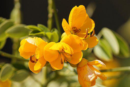 Senna, Smooth Senna, Senna Septem Trionalis, Flower