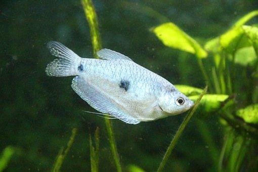 Gourami, Spotted Gourami, Trichogaster Trichopterus
