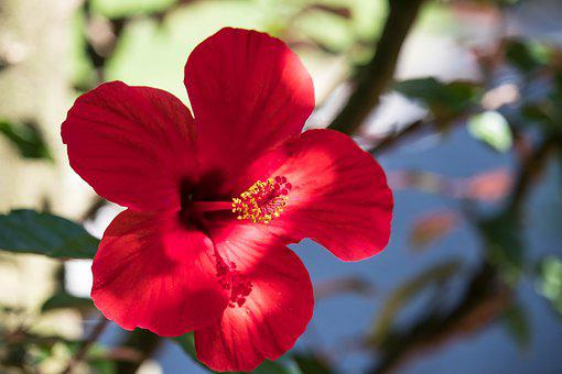 Hibiscus, Flower, Plant, Ornamental Plant, Summer