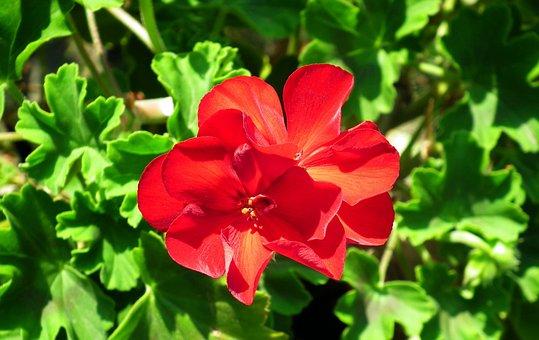 Flower, Geranium, Red, Summer, The Petals, Foliage