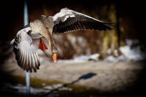 Goose, Flying, Greylag Goose, Animal World, Water Bird