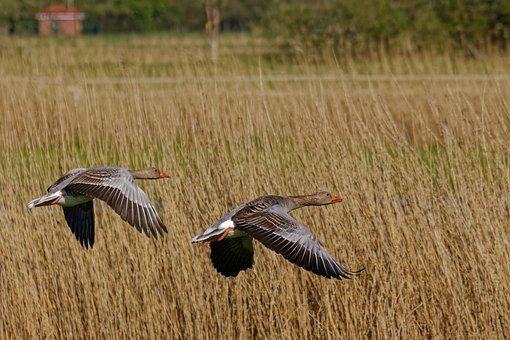 Grey Geese, Goose, Nature, Poultry, Water Bird, Bird