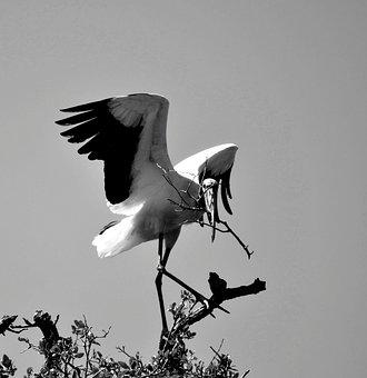 Wood Stork, Wildlife, Nature, Bird, Avian, Tropical