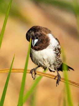 Bronze Mannikin, Bird, Nature, Wildlife, Animal, Wild