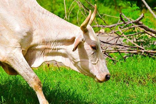 Cow, Animal, Animals, Livestock, Agriculture, Farm