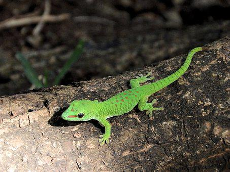 The Lizard, Gad, Green, Dragon, Mauritius, Animal