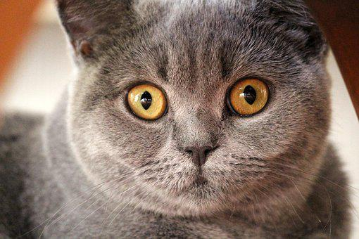 Chartreux, Cat, Animal Portrait, Cat Face, Head, Young