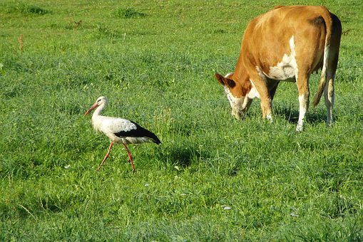 Stork, Cow, Bird, Animals, Pasture Land, Meadow