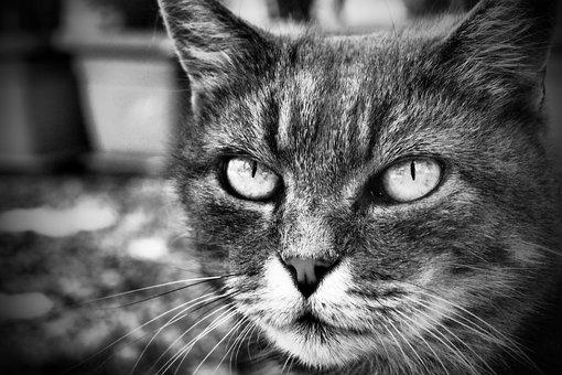 Cat, Feline, B N, Gray, Wild, Portrait, Mammal, Cute