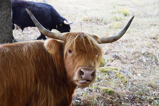 Scottish Highland Cow, Cow, Beef, Horns, Cattle