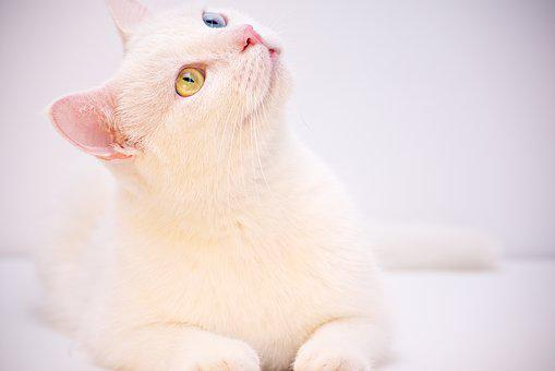 White, Angora, Turkish, Cafe, Room, Cute, Animal, Pet