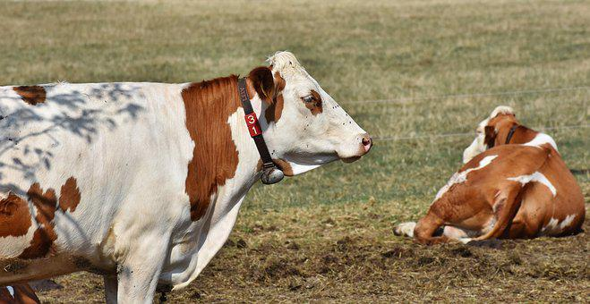 Cow, Beef, Cattle, Ruminant, Livestock, Dairy Cattle