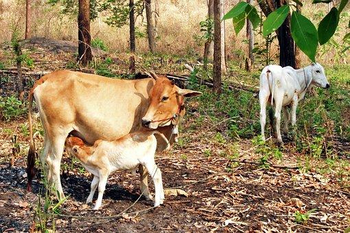 Cow With Calf, Cattle, Animal, Lifestock, Ruminant