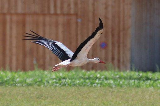 Stork, Flying, Rattle Stork, Elegant, White Stork