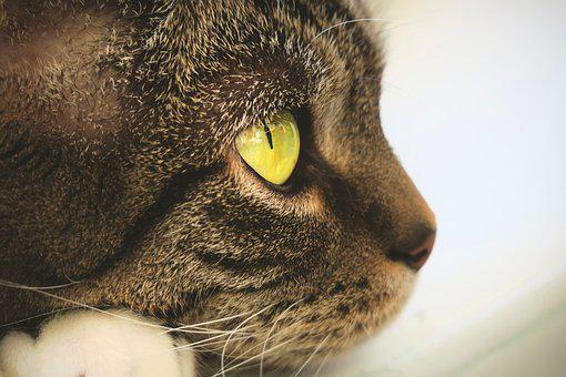 Cat, Eyes, View, Face, Domestic Cat, Cat's Eyes