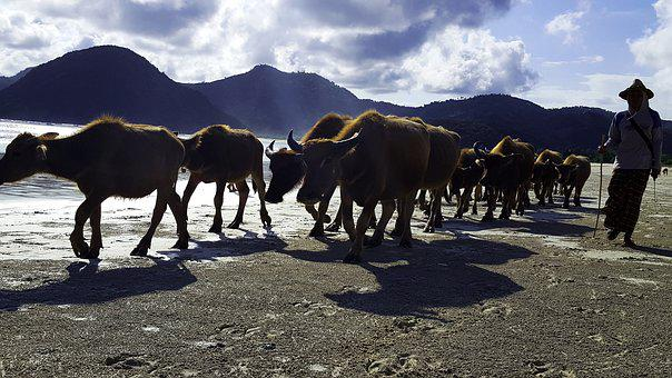Cows, Bull, Flock, Agriculture, Beef, Cattle, Livestock