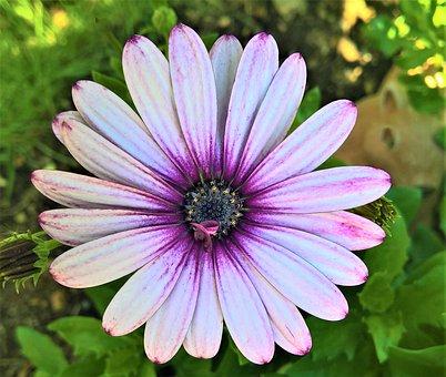 Flower, Margarite, Bornholm Margarite, Ornamental Plant