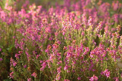 Heide, Flowers, Pink, Nature, Heather, Erika, Violet