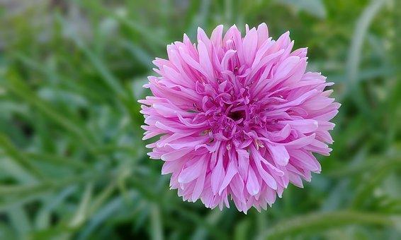 Cornflower, Germany China Phone, Centaurea Cyanus L