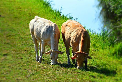 Cow, Cattle, Animal, Mammal, Livestock, Grazing