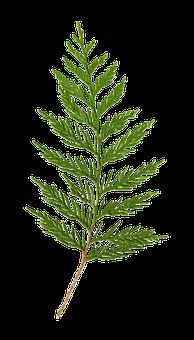 Cedar, Clipart, Clip-art, Transparent, Foliage, Green