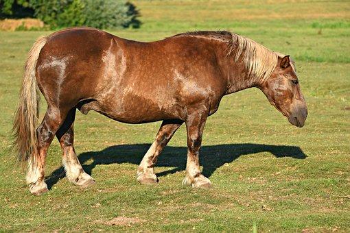 Cart Horse, Animal, Mammal, Equine, Roan, Mane, Hooves